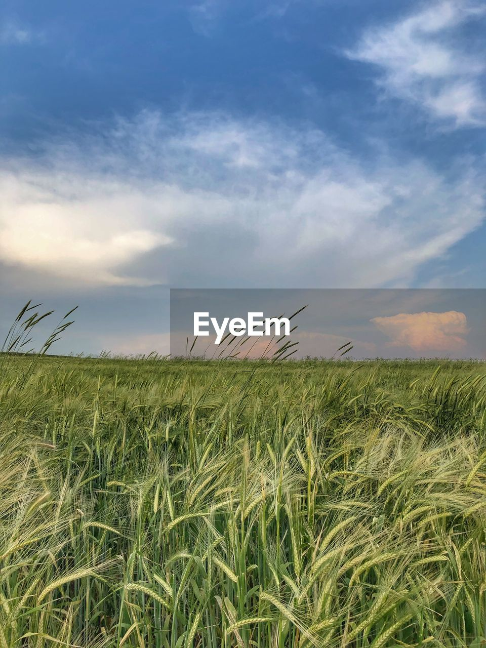 sky, field, cloud - sky, land, landscape, growth, agriculture, plant, tranquility, crop, beauty in nature, tranquil scene, scenics - nature, environment, cereal plant, rural scene, nature, farm, day, no people, outdoors, plantation, stalk