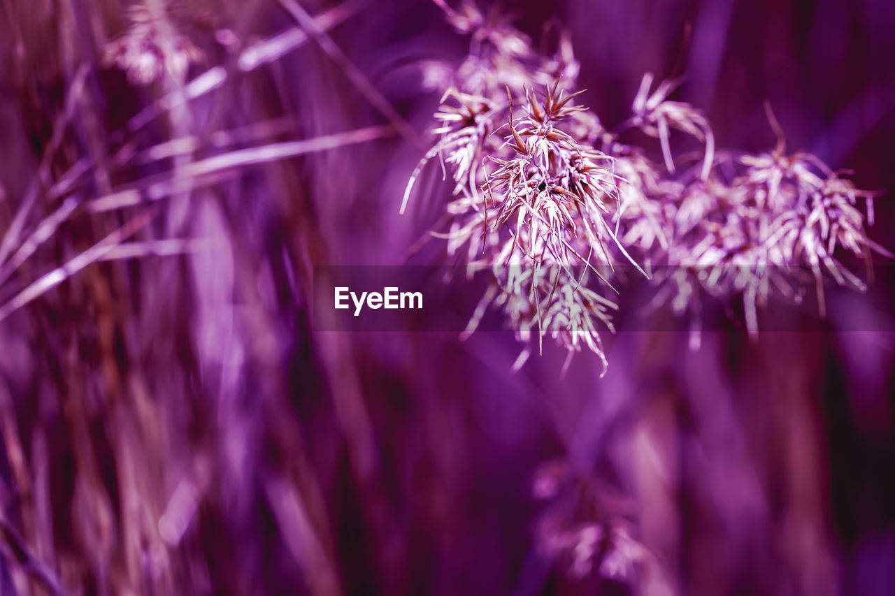 plant, growth, beauty in nature, close-up, fragility, selective focus, vulnerability, flowering plant, flower, nature, purple, no people, freshness, day, tranquility, outdoors, focus on foreground, inflorescence, flower head, backgrounds, wilted plant