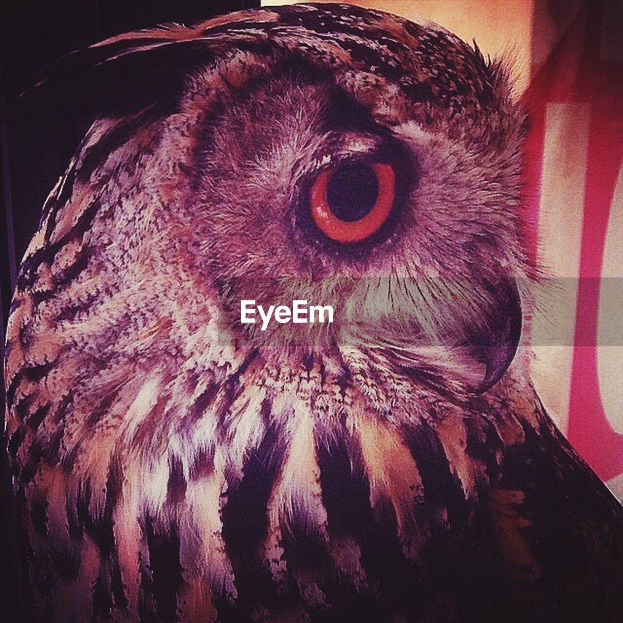 bird, animal themes, one animal, beak, close-up, animal head, owl, no people, feather, domestic animals, animals in the wild, bird of prey, indoors, nature, day