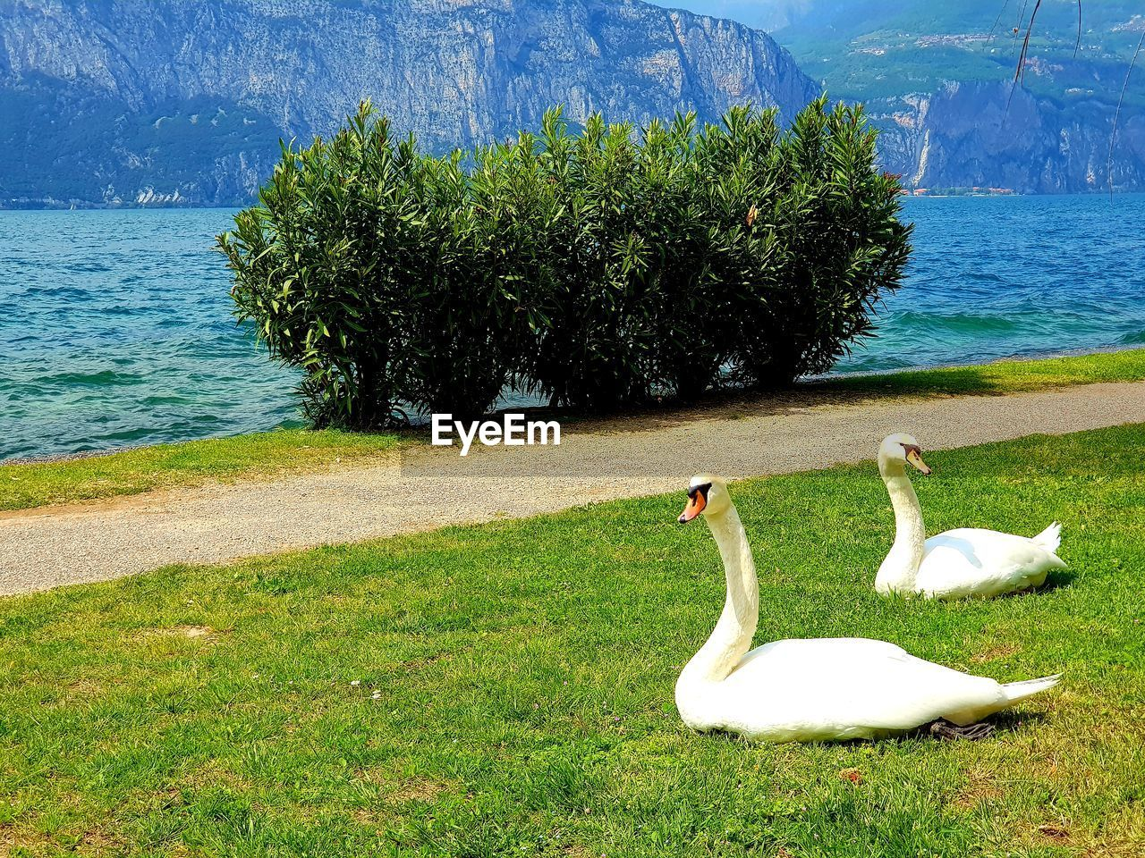 VIEW OF SWAN ON SHORE