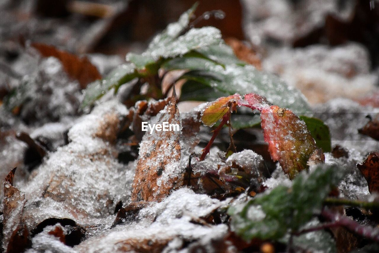 close-up, no people, cold temperature, selective focus, winter, day, nature, plant, snow, animal, animals in the wild, leaf, animal wildlife, plant part, beauty in nature, animal themes, outdoors, growth, covering