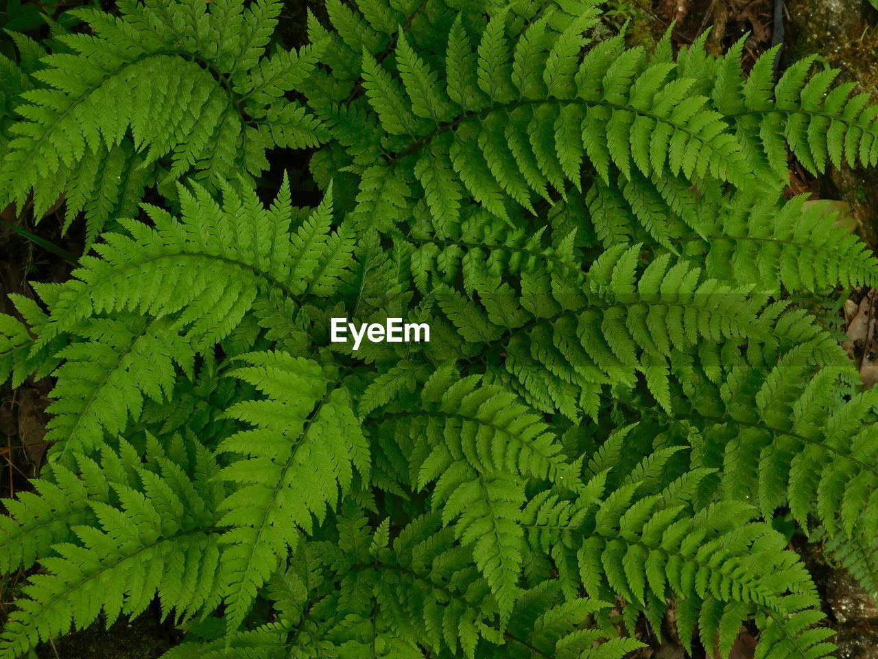 green color, growth, fern, plant, full frame, leaf, no people, plant part, backgrounds, high angle view, beauty in nature, nature, day, freshness, close-up, directly above, foliage, pattern, lush foliage, tree, leaves, rainforest