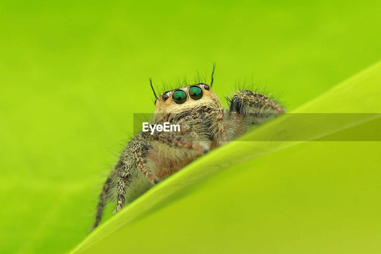 animal, animal wildlife, animal themes, animals in the wild, one animal, green color, invertebrate, insect, selective focus, close-up, plant part, leaf, nature, no people, plant, day, jumping spider, arachnid, outdoors, spider, animal eye