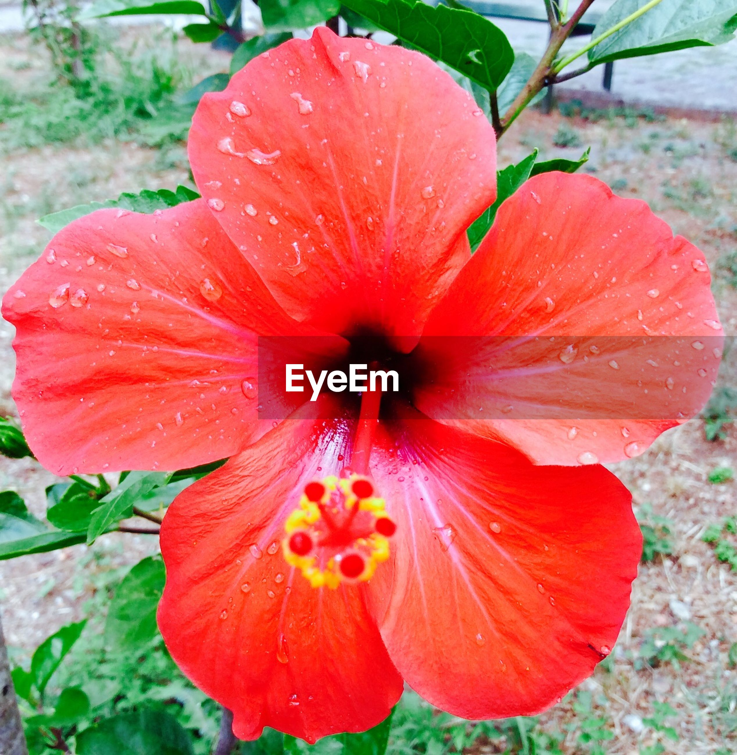 flower, freshness, petal, flower head, fragility, growth, beauty in nature, red, close-up, single flower, nature, blooming, plant, focus on foreground, stamen, pollen, wet, in bloom, drop, hibiscus