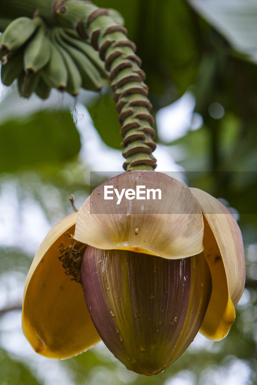close-up, focus on foreground, no people, day, growth, beauty in nature, freshness, plant, shell, nature, food, food and drink, outdoors, animal shell, tree, vulnerability, leaf, fragility, banana tree, healthy eating
