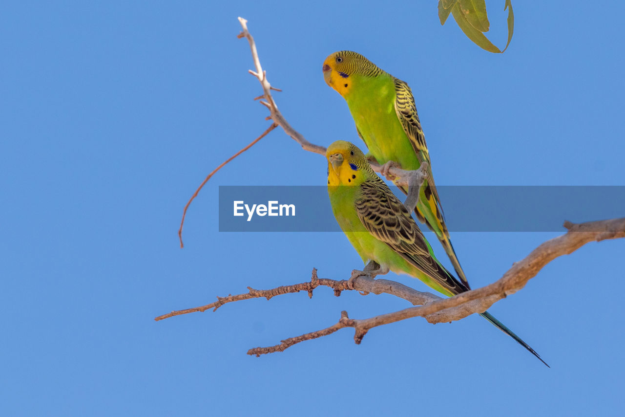Budgerigars Perching On Branch Against Clear Blue Sky