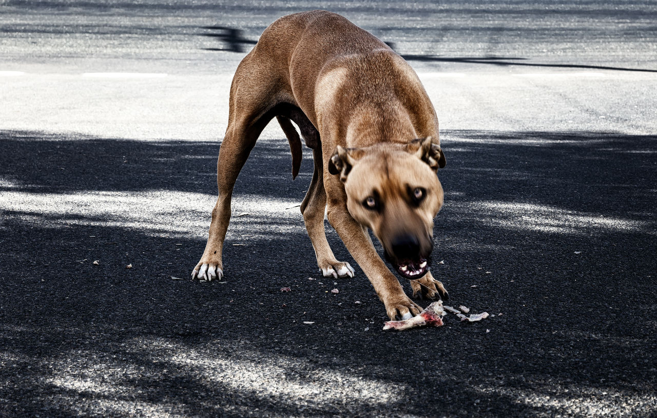 mammal, pets, animal, animal themes, domestic animals, domestic, one animal, dog, canine, road, vertebrate, day, street, city, sunlight, no people, shadow, nature, transportation, outdoors