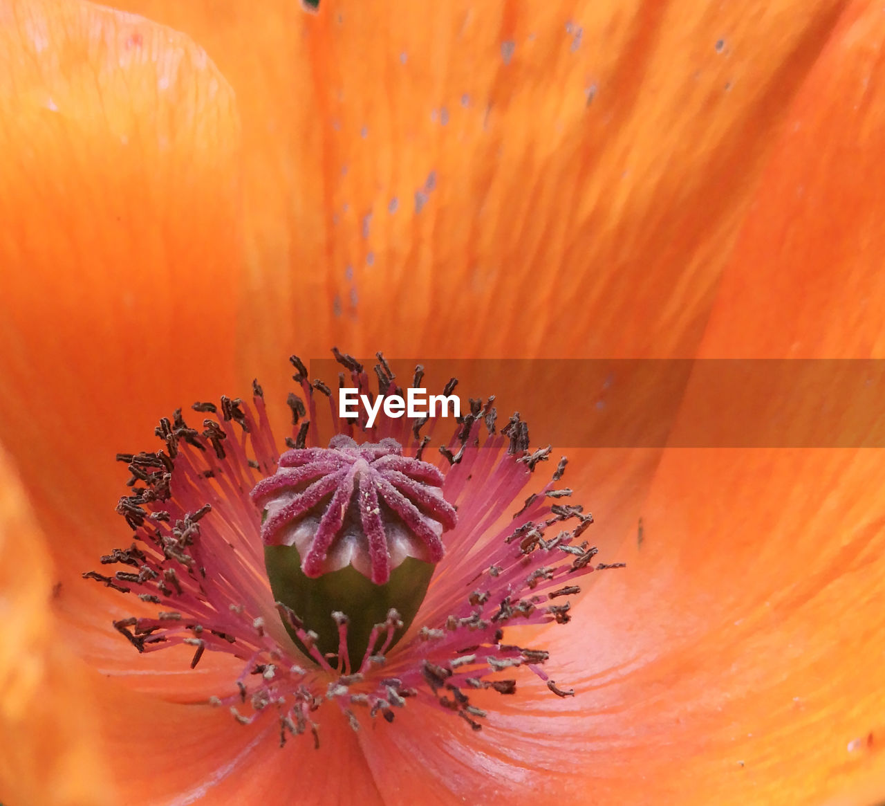 flower, flowering plant, petal, vulnerability, fragility, plant, freshness, flower head, beauty in nature, growth, inflorescence, pollen, close-up, orange color, extreme close-up, no people, stamen, nature, botany, soft focus