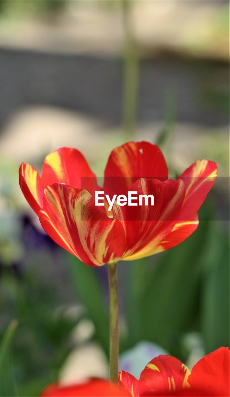 flowering plant, flower, freshness, fragility, petal, vulnerability, beauty in nature, plant, close-up, growth, inflorescence, flower head, red, focus on foreground, nature, tulip, day, no people, plant stem, outdoors, orange