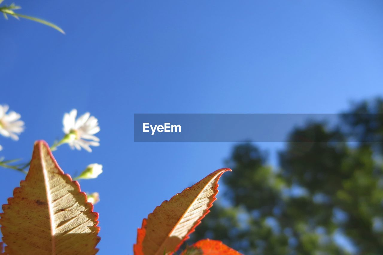 leaf, copy space, nature, clear sky, outdoors, blue, growth, beauty in nature, low angle view, day, no people, sunlight, close-up, autumn, tree, fragility, sky
