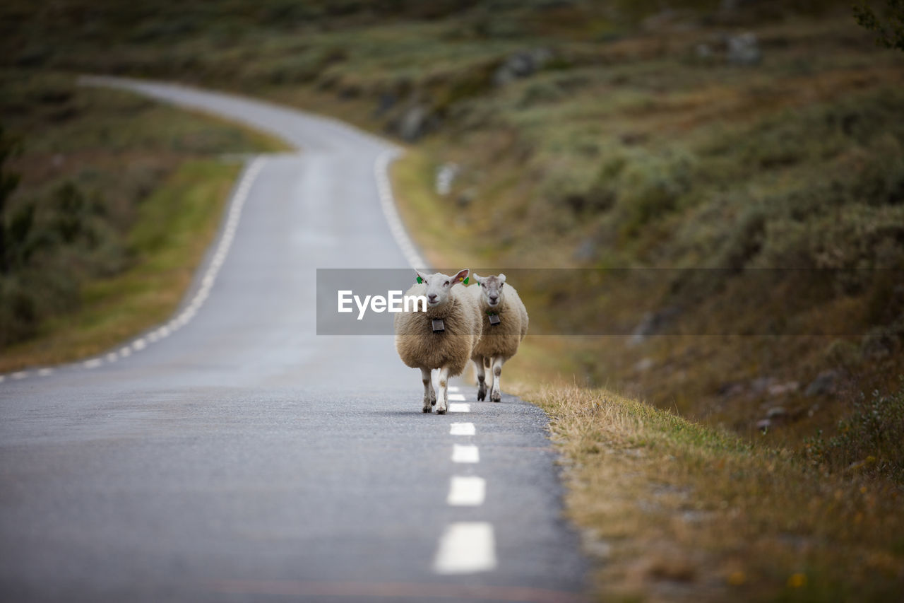 Front View Of Sheep Walking On Road