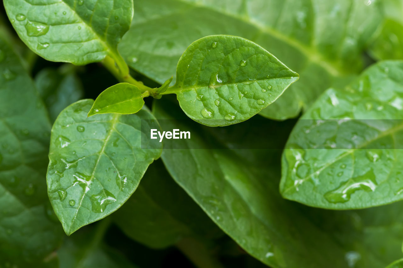 leaf, plant part, green color, drop, wet, water, plant, growth, close-up, nature, freshness, beauty in nature, no people, leaves, day, outdoors, leaf vein, focus on foreground, dew, rain, raindrop, rainy season, purity, clover