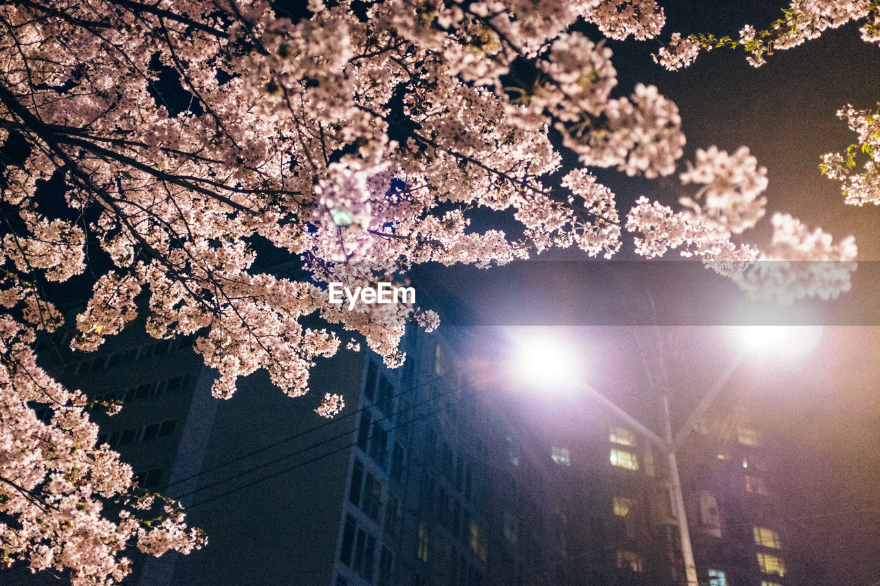 tree, cherry blossom, branch, flower, blossom, cherry tree, beauty in nature, low angle view, night, fragility, nature, growth, springtime, outdoors, no people, built structure, apple blossom, building exterior, illuminated, freshness, architecture, sky, flower head, close-up