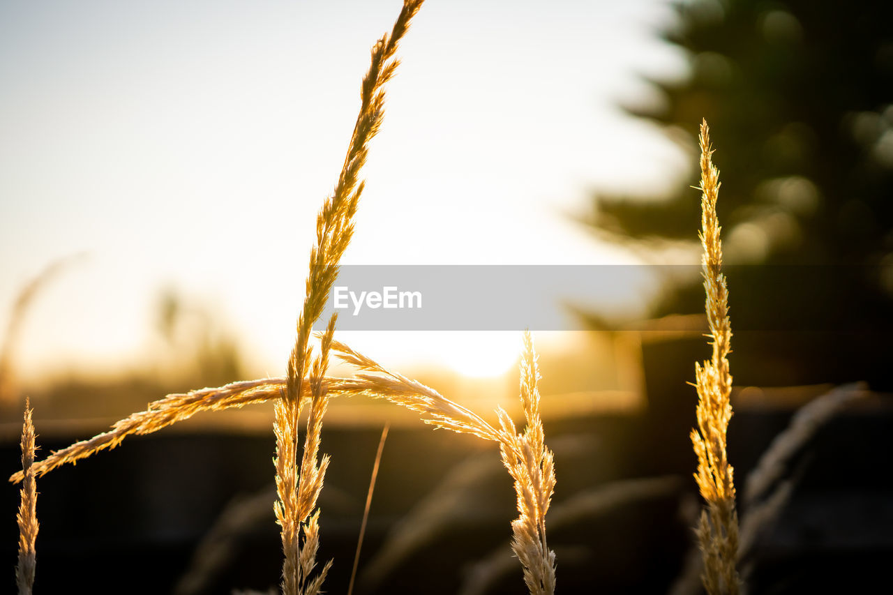 focus on foreground, close-up, plant, growth, nature, no people, beauty in nature, sky, selective focus, crop, tranquility, sunlight, agriculture, day, outdoors, cereal plant, sunset, field, land, plant stem, stalk