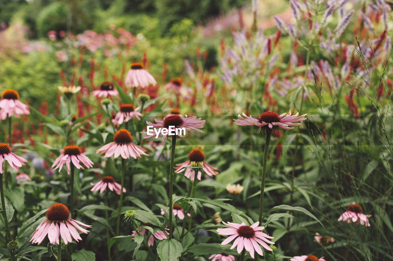Echinacea Angustifolia Flowers Blooming In Park
