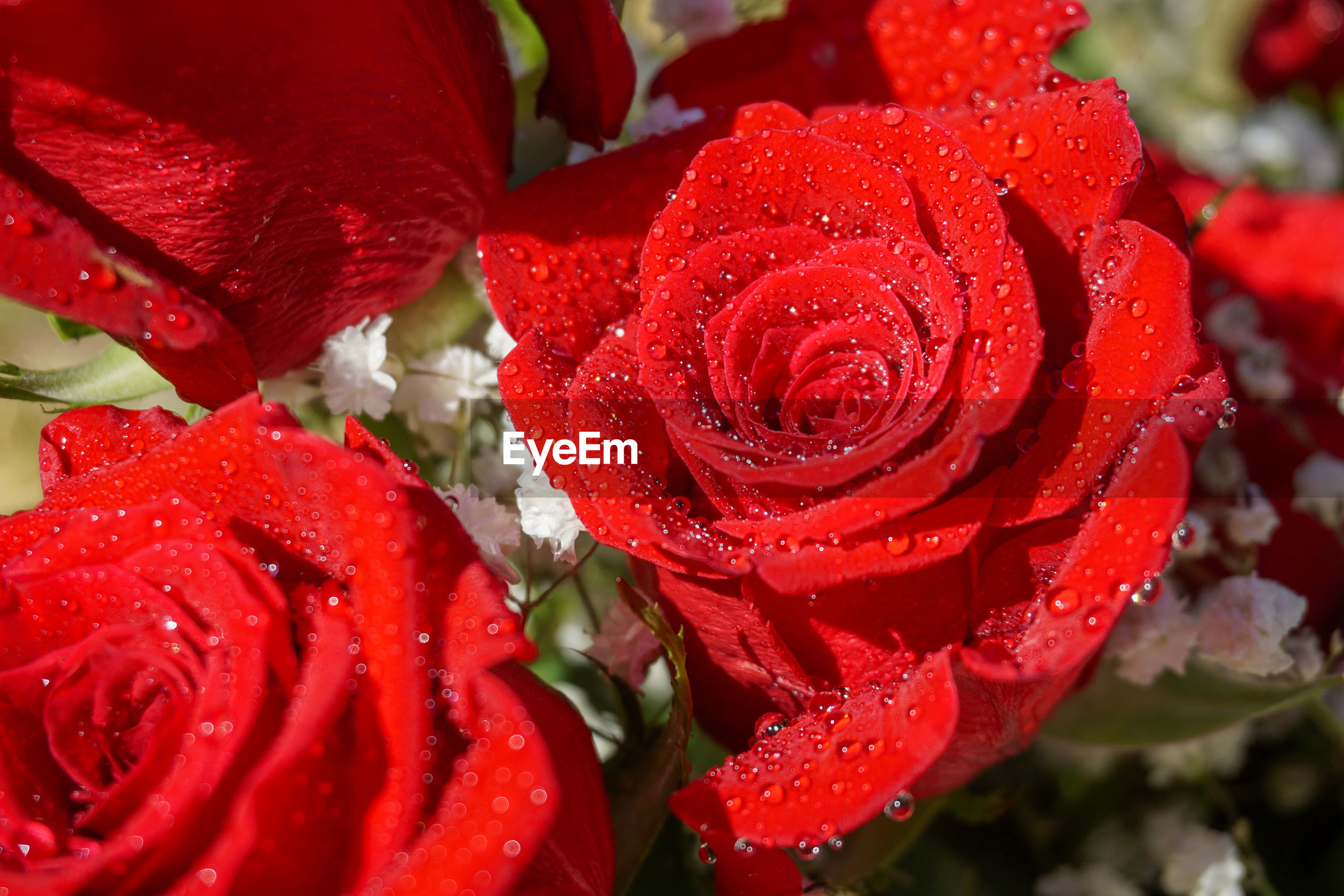 CLOSE-UP OF WET RED ROSE IN RAINY SEASON