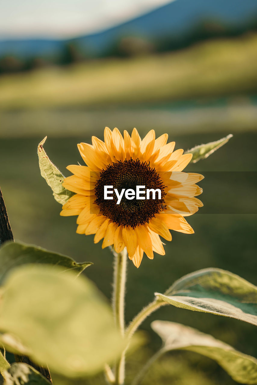 flowering plant, flower, plant, beauty in nature, petal, fragility, flower head, growth, vulnerability, freshness, inflorescence, close-up, yellow, leaf, nature, plant part, focus on foreground, day, pollen, no people, sunflower, outdoors