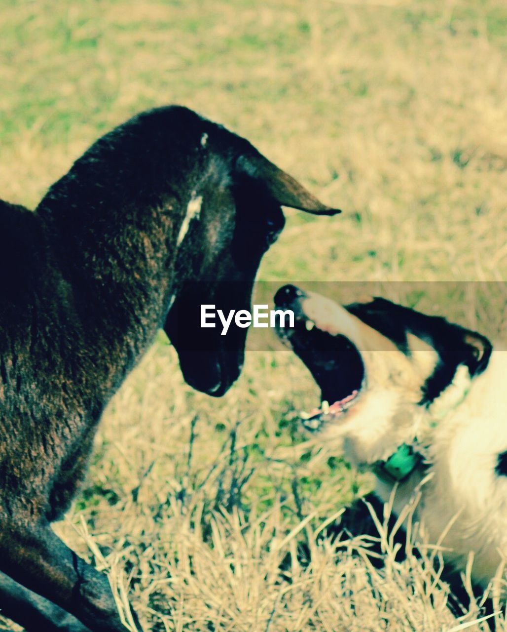 animal themes, domestic animals, mammal, two animals, mouth open, dog, no people, pets, close-up, day, outdoors, nature