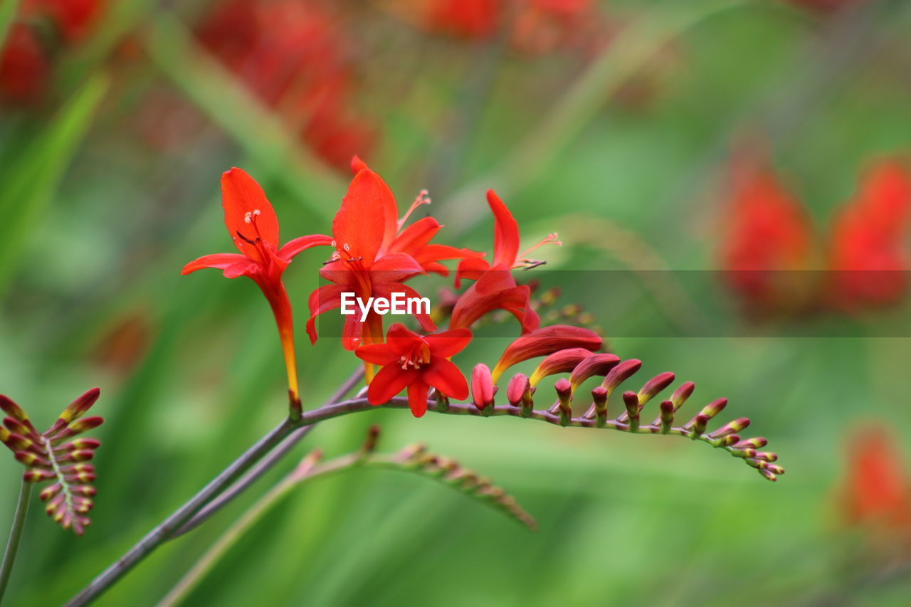Red Crocosmia And Buds Growing Outdoors