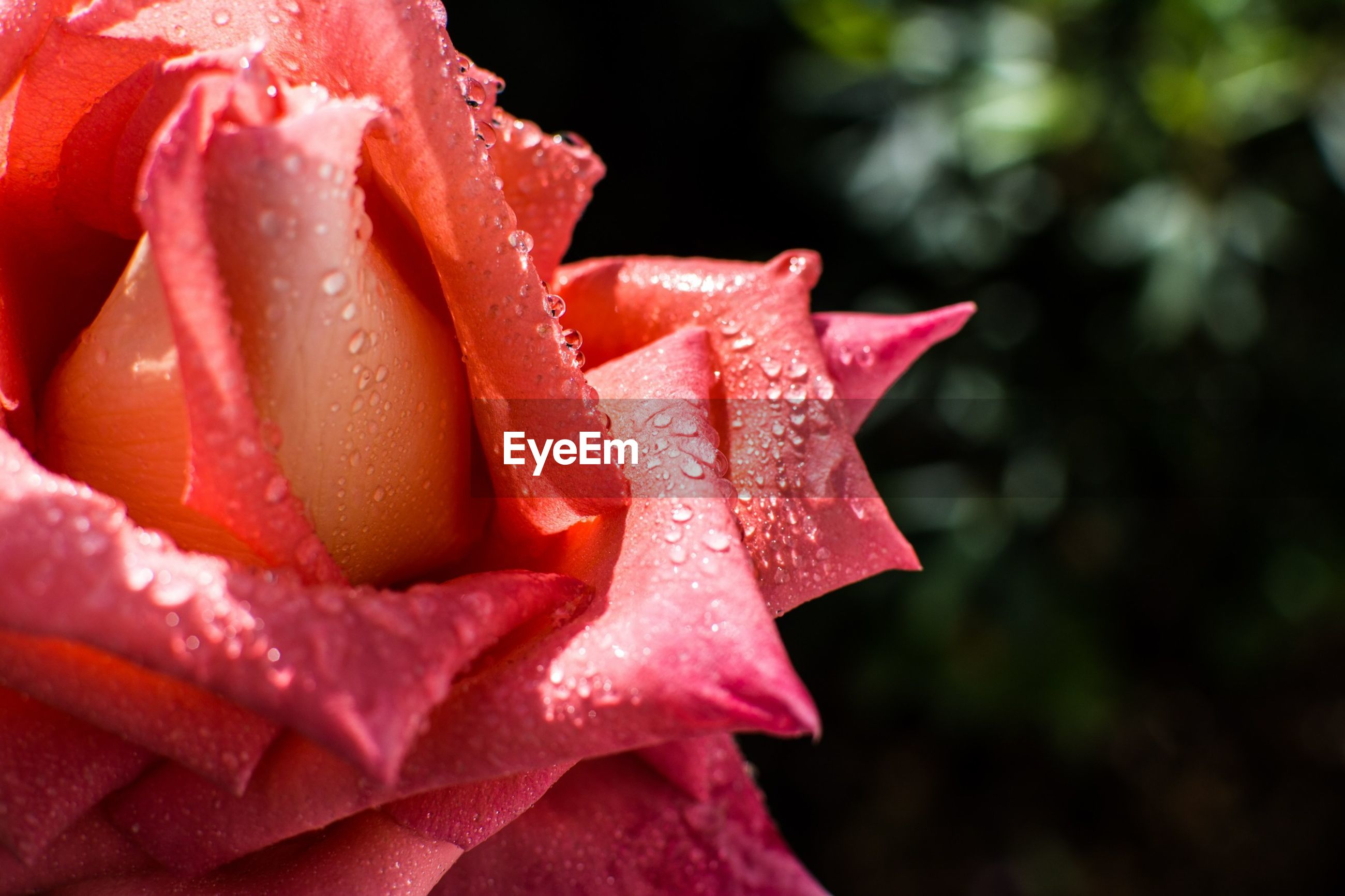 petal, flower, drop, freshness, flower head, fragility, wet, close-up, water, beauty in nature, rose - flower, pink color, single flower, growth, dew, red, blooming, nature, focus on foreground, rain
