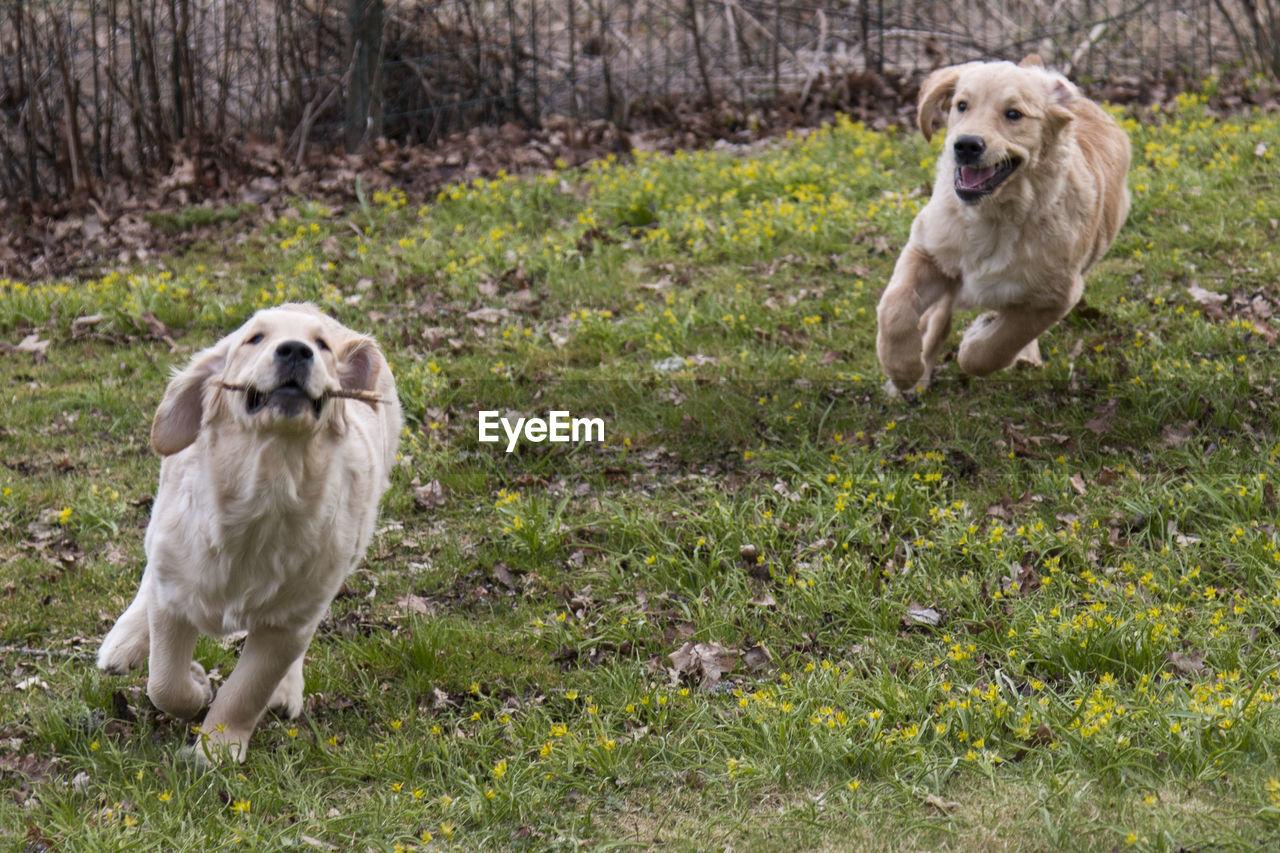 Golden Retrievers Running On Grass In Back Yard