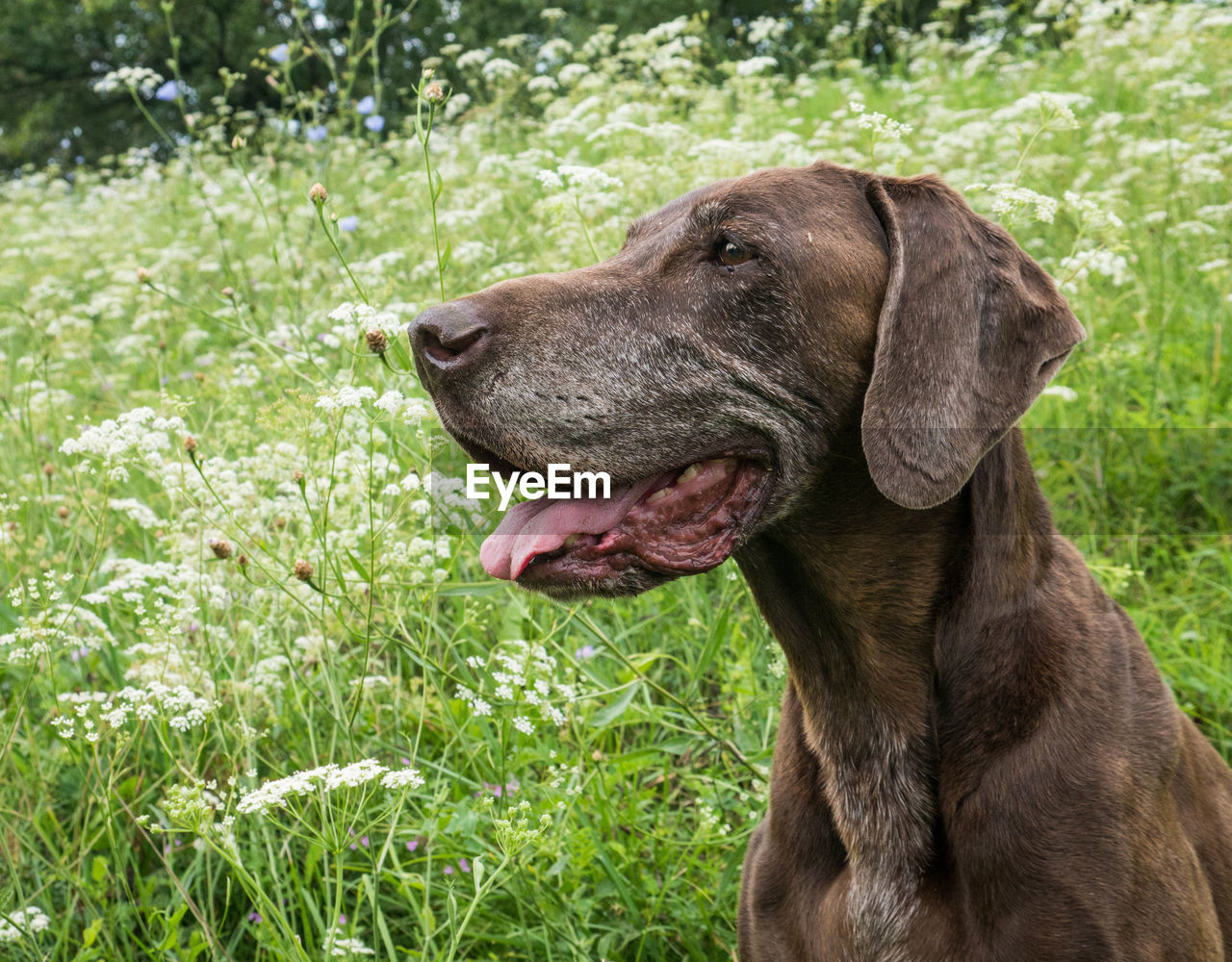 German short-haired pointer on field