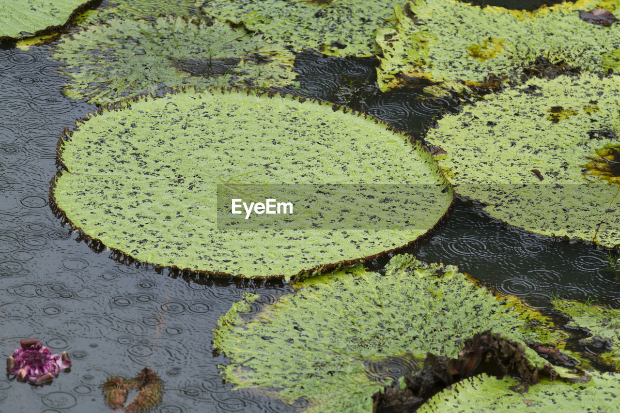 HIGH ANGLE VIEW OF LILY IN LAKE
