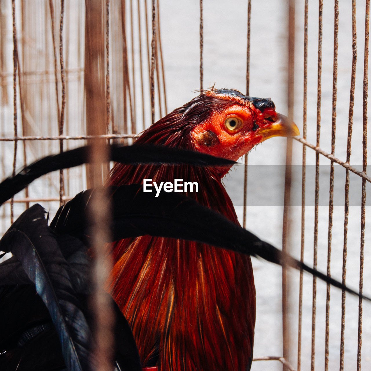 Close-Up Of Hen In Chicken Coop