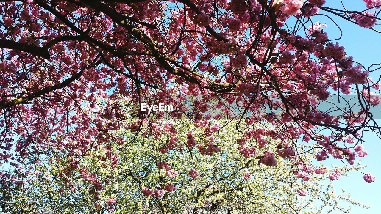 tree, flower, plant, flowering plant, low angle view, branch, blossom, growth, springtime, beauty in nature, pink color, fragility, freshness, nature, vulnerability, sky, no people, day, cherry blossom, cherry tree, outdoors, spring