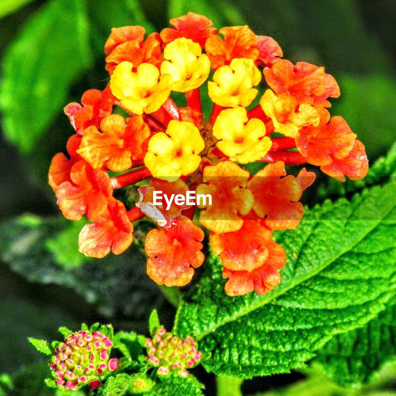 flower, beauty in nature, nature, growth, freshness, fragility, plant, outdoors, no people, close-up, petal, day, leaf, focus on foreground, lantana camara, flower head, blooming