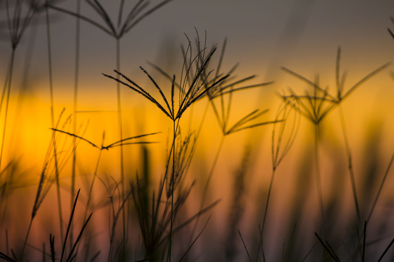 growth, nature, sunset, agriculture, plant, field, crop, farm, rural scene, cereal plant, beauty in nature, yellow, wheat, close-up, outdoors, no people, ear of wheat, scenics, sky, rye - grain, day, freshness