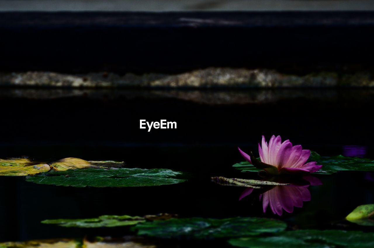 flower, water, beauty in nature, nature, freshness, fragility, lake, night, no people, tranquility, petal, growth, floating on water, water lily, plant, outdoors, flower head, close-up, lotus water lily, scenics, leaf, lily pad, sky