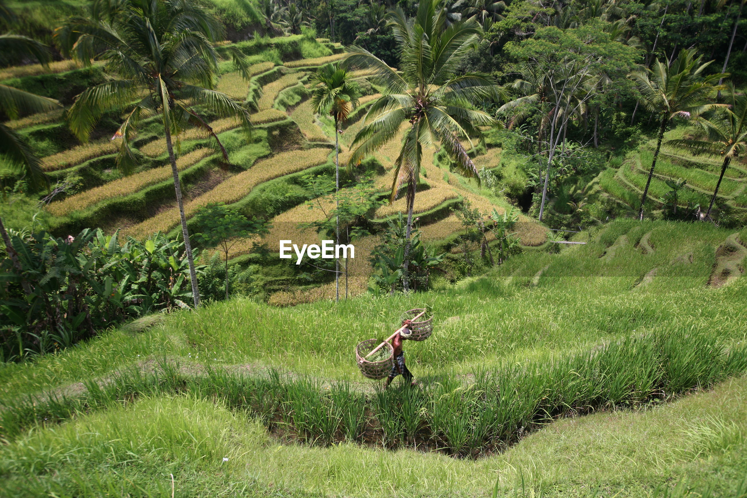 High angle view of farmer walking on rice paddy field