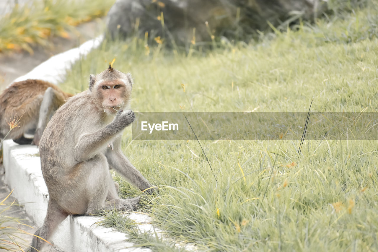 animal wildlife, animals in the wild, primate, mammal, grass, plant, vertebrate, sitting, one animal, field, land, nature, day, no people, looking, outdoors, animal family