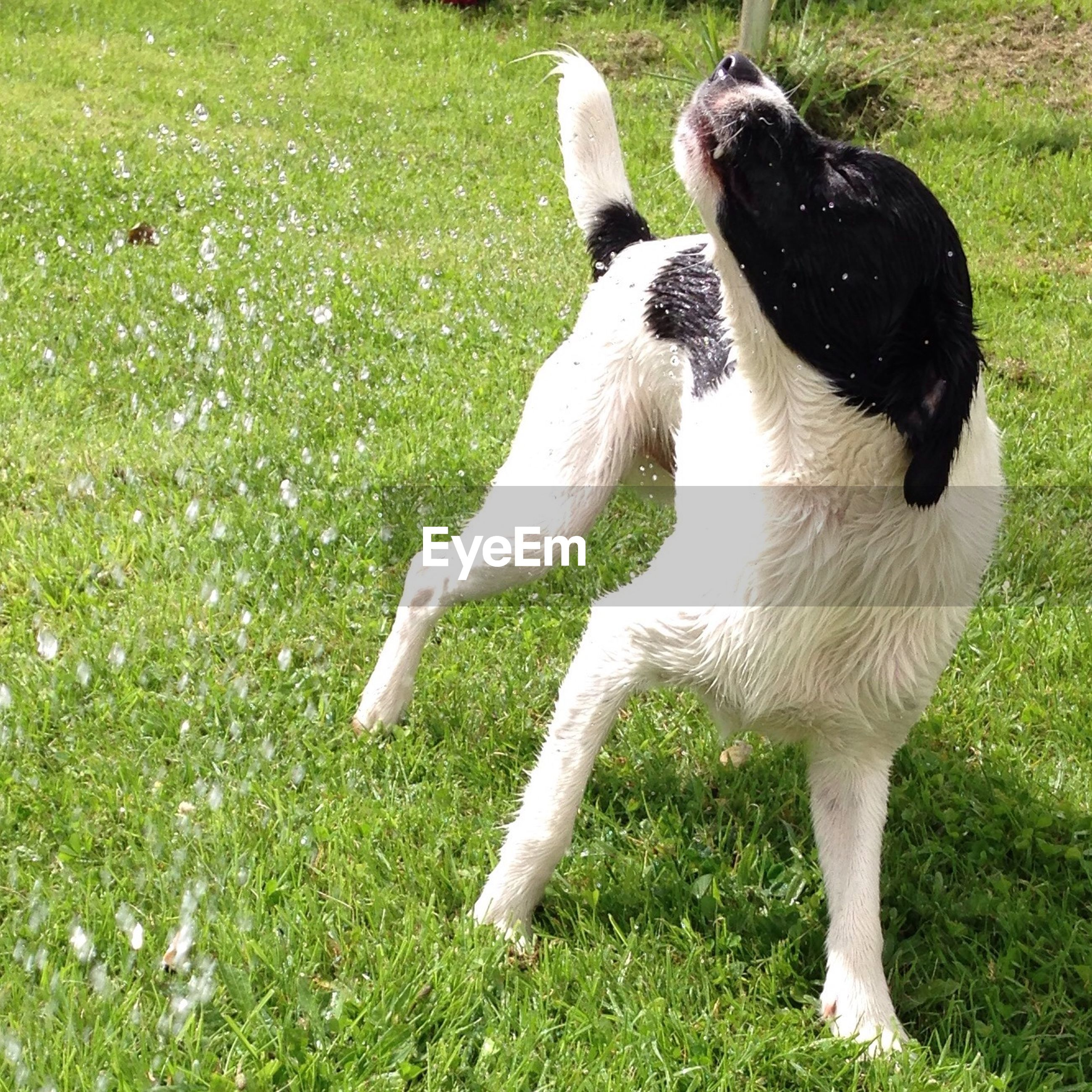 Close-up of playful dog shaking off water on grassy field