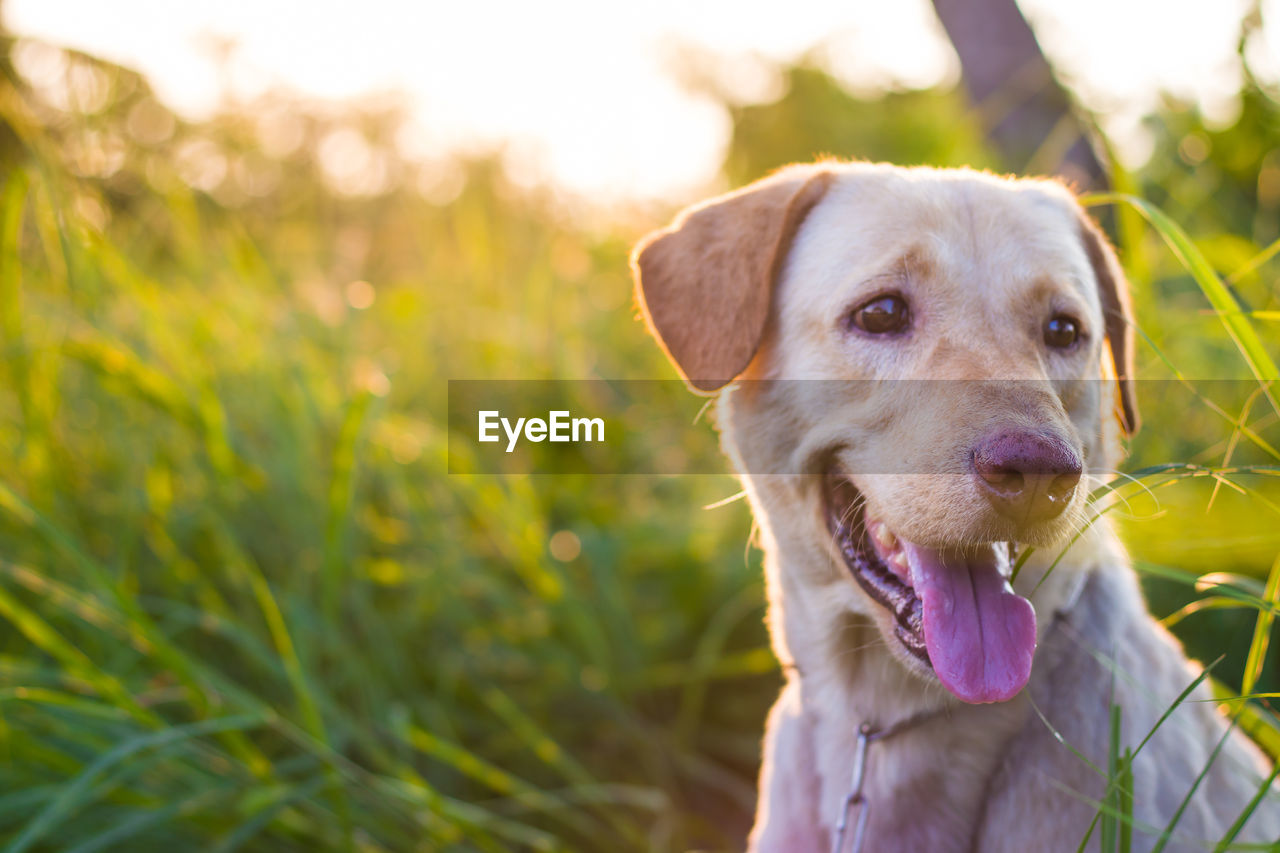 dog, canine, mammal, one animal, pets, domestic, domestic animals, animal themes, animal, vertebrate, portrait, looking at camera, plant, close-up, focus on foreground, no people, field, nature, animal body part, day, outdoors, animal head, panting, mouth open, weimaraner
