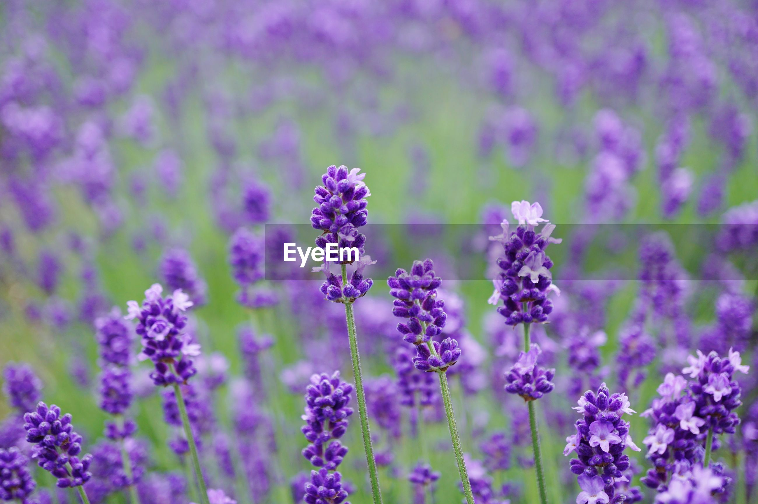 flower, plant, flowering plant, beauty in nature, growth, purple, freshness, fragility, vulnerability, lavender, close-up, field, no people, nature, petal, focus on foreground, land, selective focus, lavender colored, day, flower head, outdoors