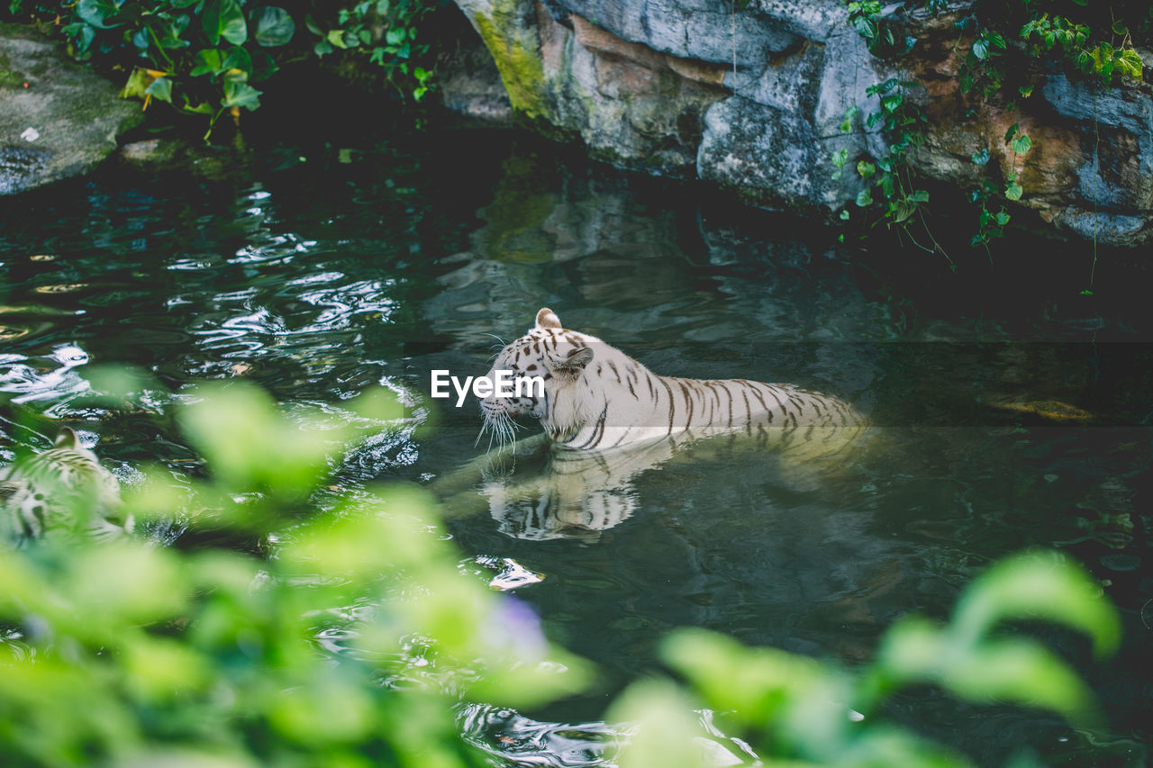 animal themes, animal, one animal, mammal, animal wildlife, water, animals in the wild, nature, vertebrate, day, tiger, feline, lake, big cat, plant, no people, white tiger, cat, outdoors