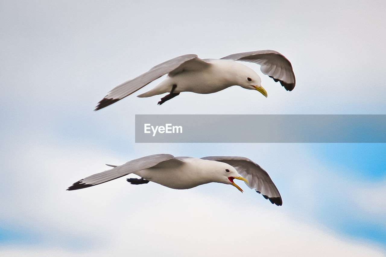 animal themes, animal wildlife, animal, bird, vertebrate, animals in the wild, sky, flying, spread wings, group of animals, mid-air, seagull, low angle view, no people, nature, motion, cloud - sky, day, two animals, outdoors, flock of birds