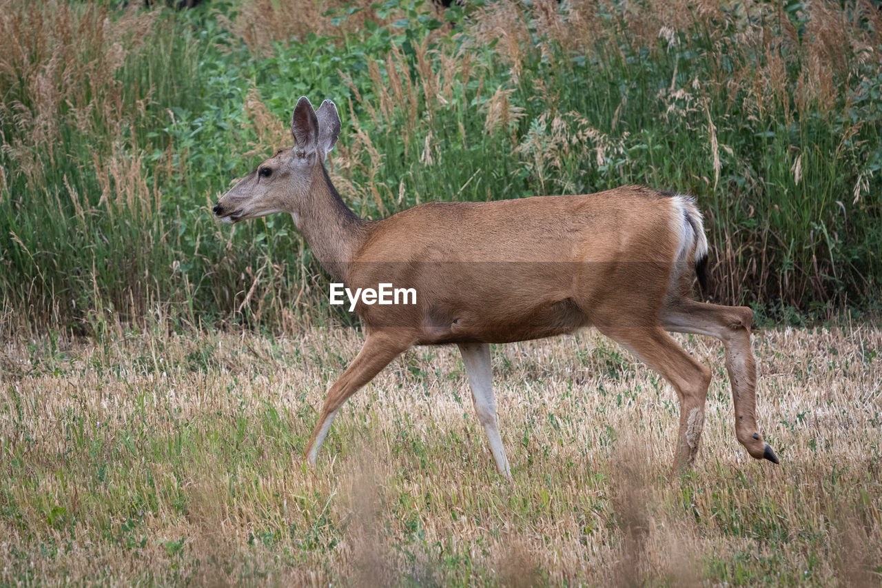 animal themes, one animal, animal, animal wildlife, animals in the wild, mammal, vertebrate, plant, grass, deer, side view, no people, nature, land, day, field, brown, full length, standing, outdoors, herbivorous, profile view
