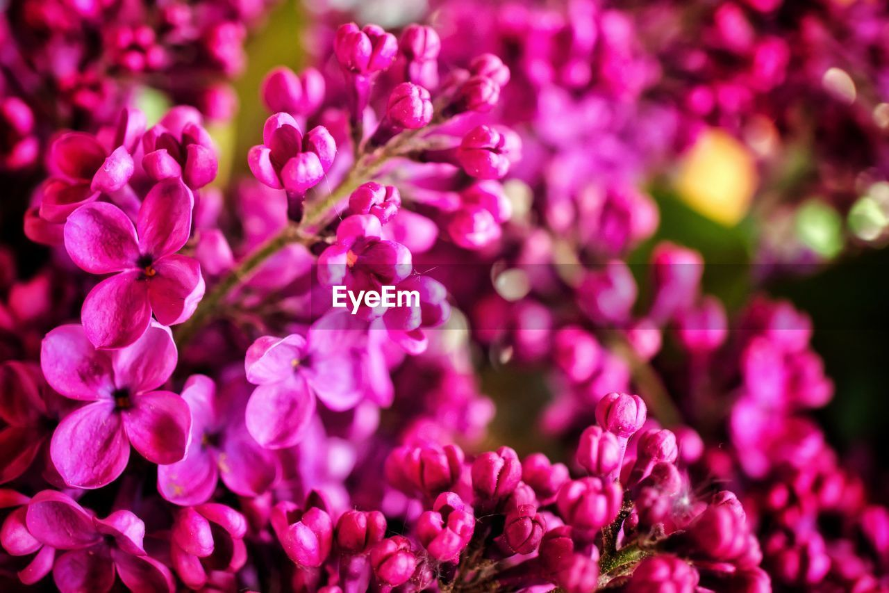 flowering plant, flower, beauty in nature, freshness, plant, vulnerability, growth, fragility, petal, close-up, pink color, flower head, nature, inflorescence, selective focus, no people, day, lilac, purple, outdoors, springtime, bunch of flowers, spring