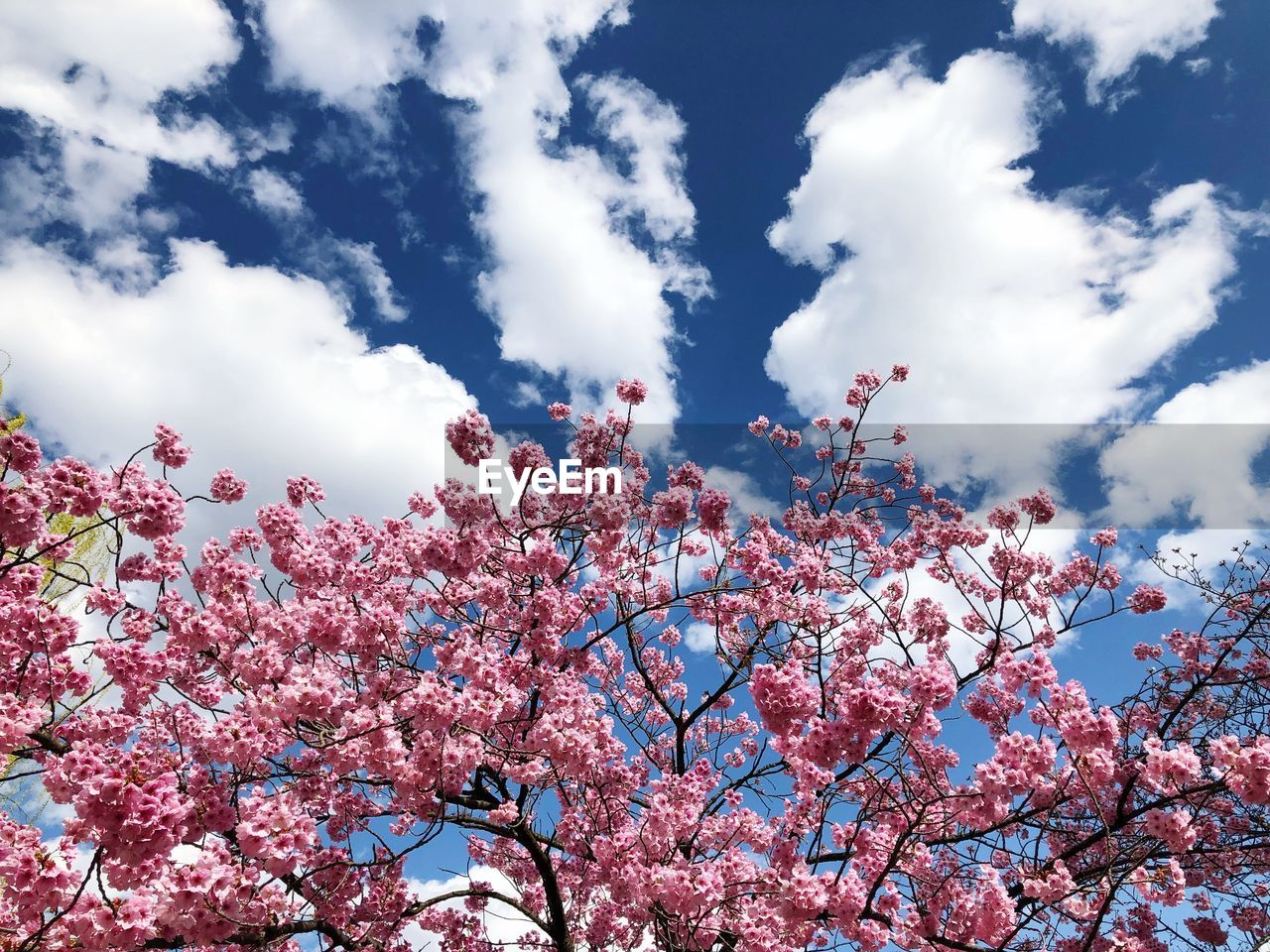 flower, tree, beauty in nature, low angle view, blossom, nature, growth, sky, springtime, fragility, pink color, branch, cloud - sky, day, no people, freshness, outdoors, tranquility, scenics, close-up