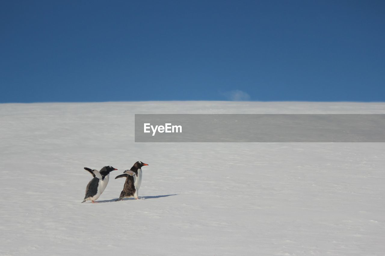 Mother and baby gentoo penguins on the move