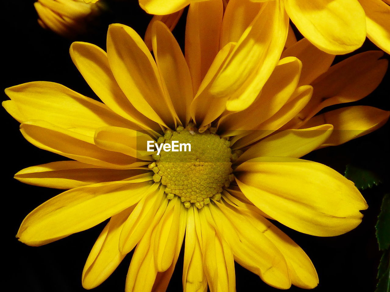 flower, petal, fragility, flower head, yellow, beauty in nature, growth, nature, freshness, pollen, plant, close-up, blooming, no people, day, gazania, outdoors