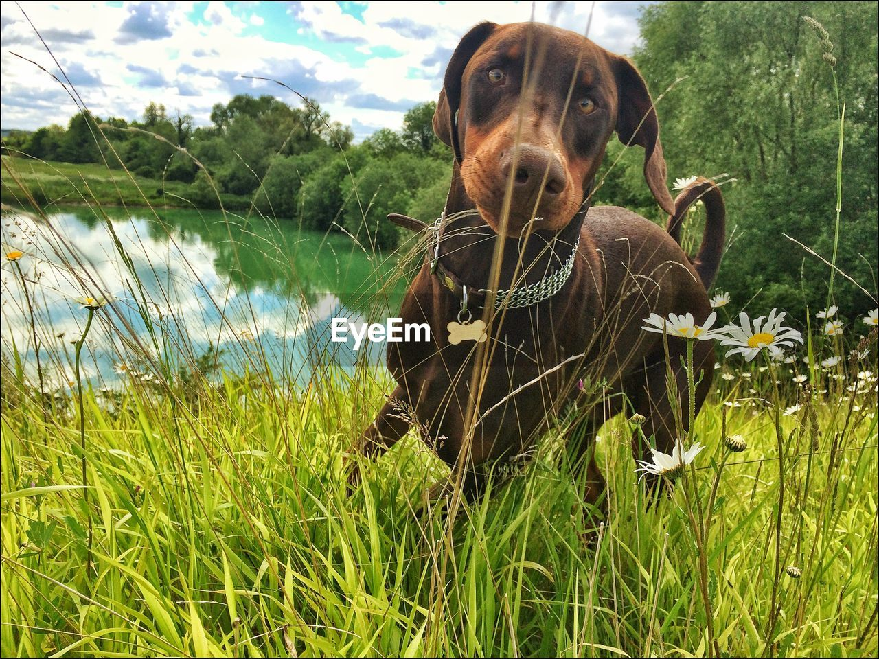 grass, one animal, dog, domestic animals, animal themes, mammal, pets, nature, growth, day, green color, outdoors, lake, field, no people, water, plant, beauty in nature, flower, close-up