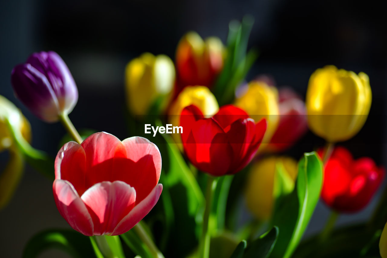 flower, freshness, flowering plant, vulnerability, fragility, plant, beauty in nature, close-up, petal, growth, tulip, flower head, inflorescence, red, nature, no people, selective focus, focus on foreground, plant stem, pink color, outdoors, springtime, flower arrangement