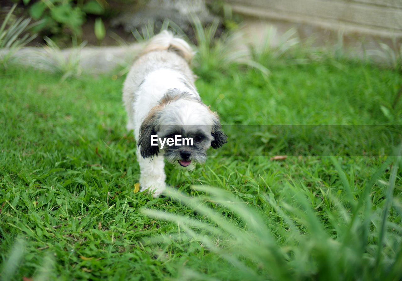 animal themes, domestic, dog, canine, one animal, pets, mammal, domestic animals, animal, plant, grass, selective focus, green color, shih tzu, field, small, no people, land, young animal, nature