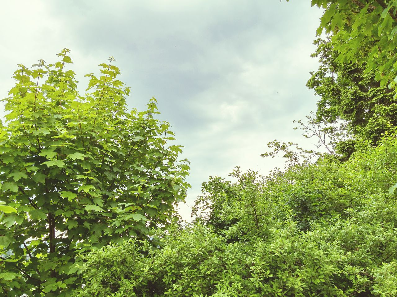 nature, tree, growth, green color, green, plant, day, no people, tranquility, outdoors, sky, beauty in nature, low angle view, forest