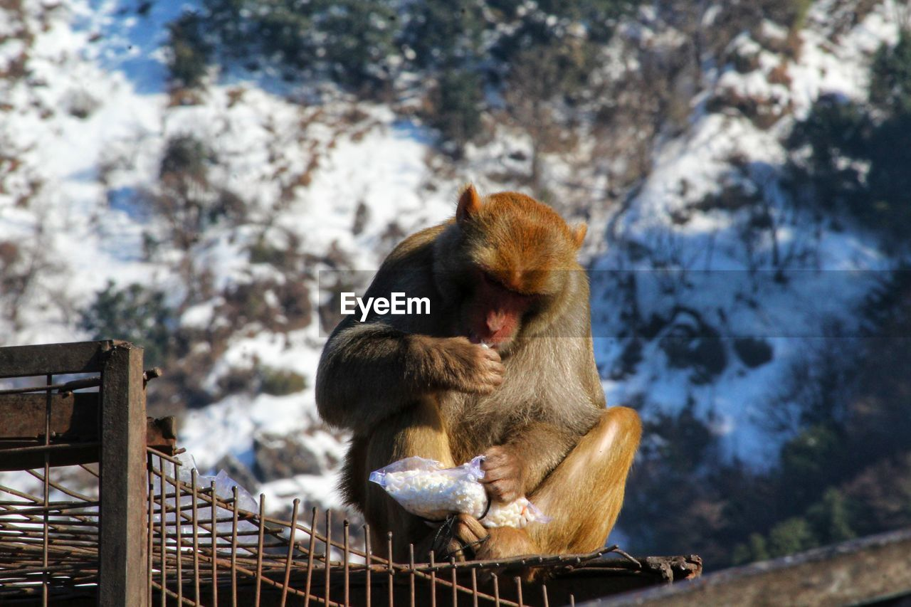 Brown color monkey eating food while sitting over cage