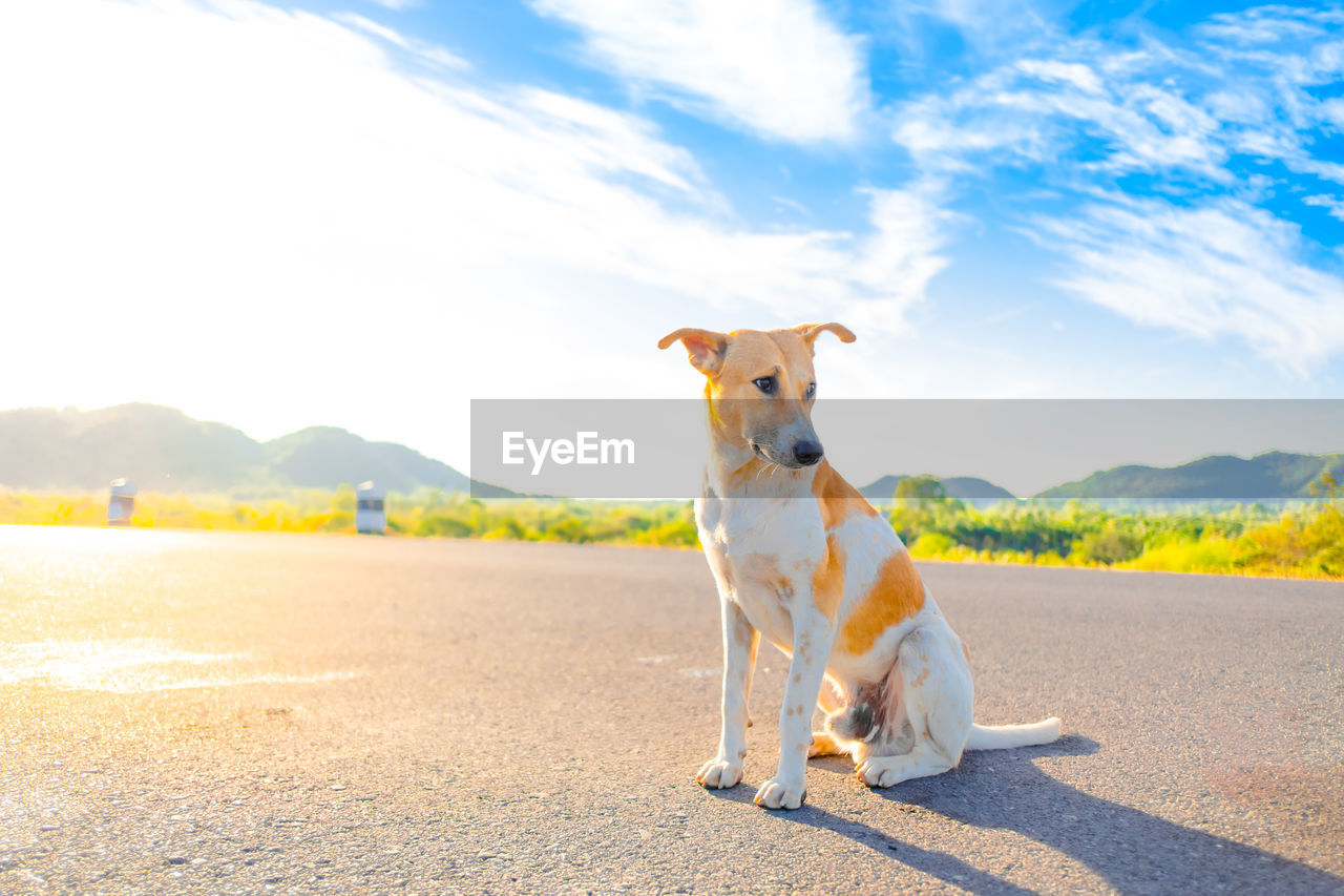 domestic animals, domestic, pets, one animal, animal themes, mammal, canine, dog, animal, sky, vertebrate, cloud - sky, day, nature, sunlight, no people, road, mountain, looking, portrait, jack russell terrier
